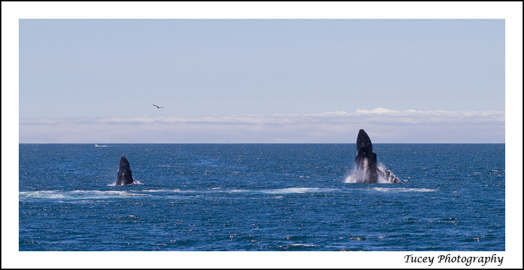 humpback_mom_calf_breach
