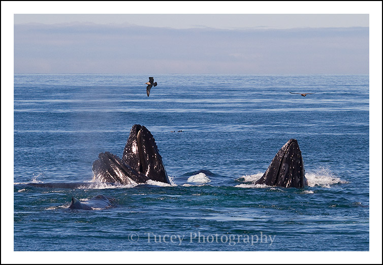 Humpback Whales Lunge Feeding, Monterey Bay, CA