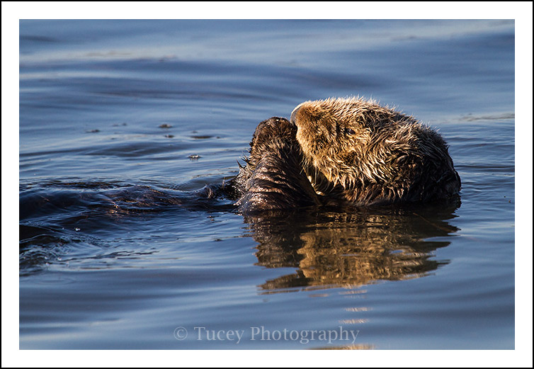 sea_otter_blue_water