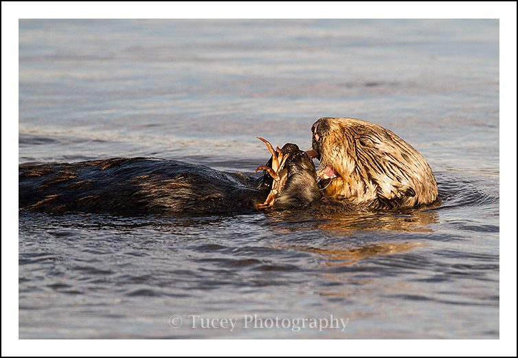 sea_otter_crab