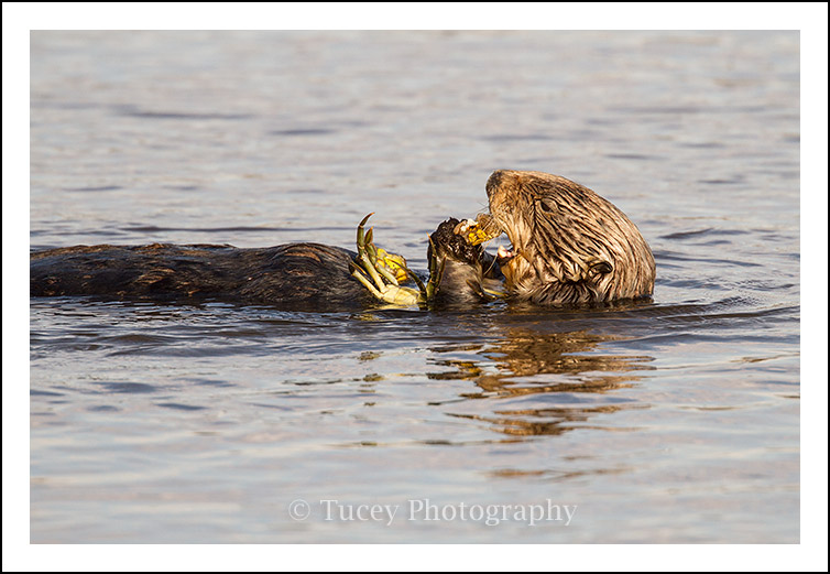 sea_otter_crab_2