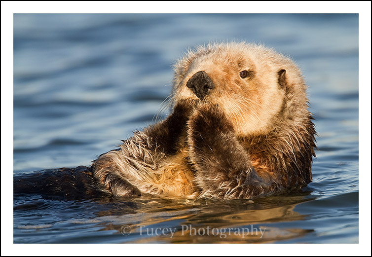 Sea Otter Paws, Elkhorn Slough, CA