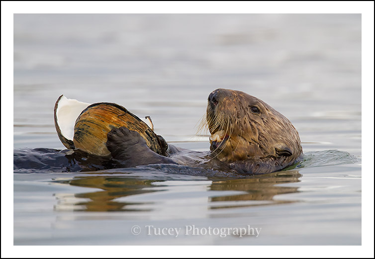 Sea Otter Eating a Large Clam