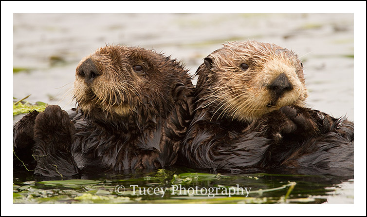 Two Sea Otters, Elkhorn Slough, CA