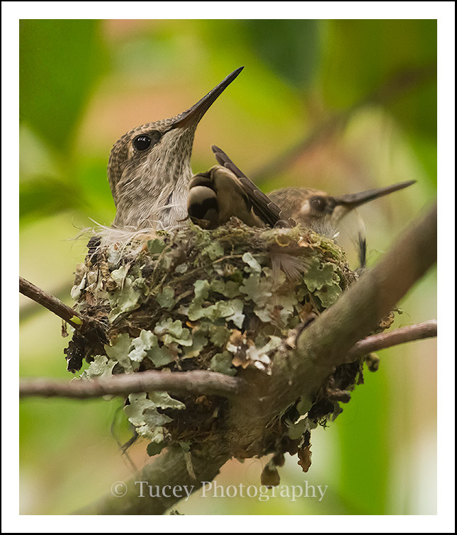 Baby Hummingbirds in Nest